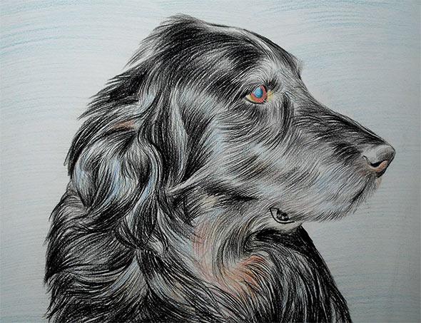 Setter ritratto in memoria a matita colorata da foto