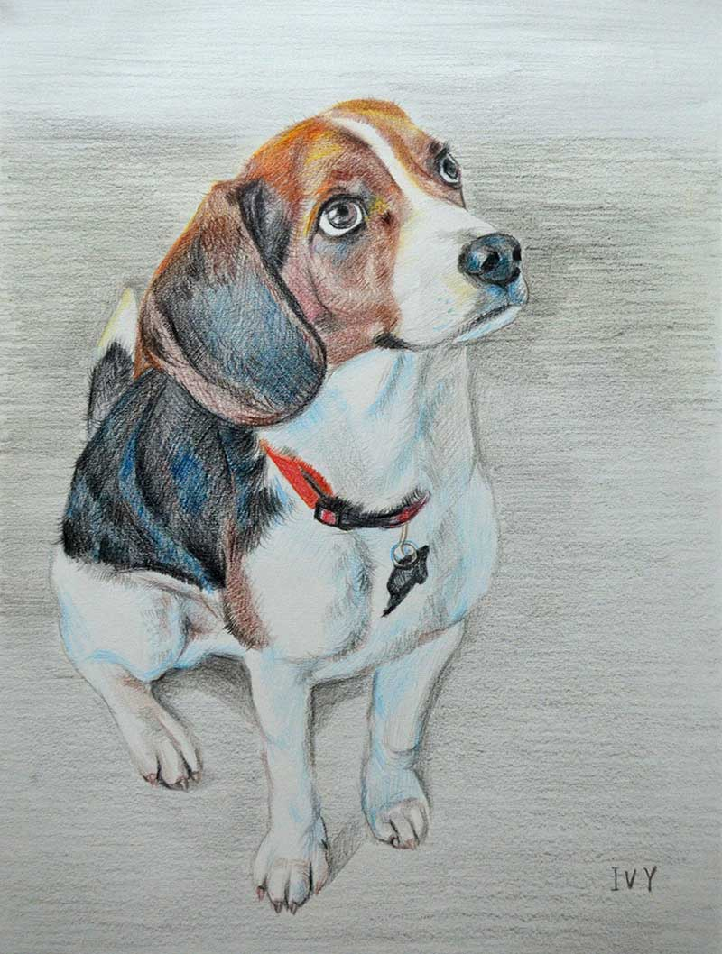 custom colored pencil drawing of a beagle as a puppy