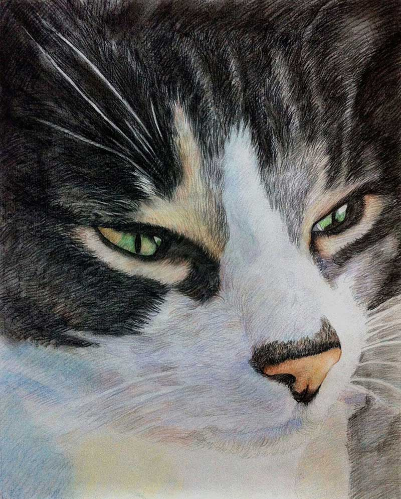 cat portrait in color pencil