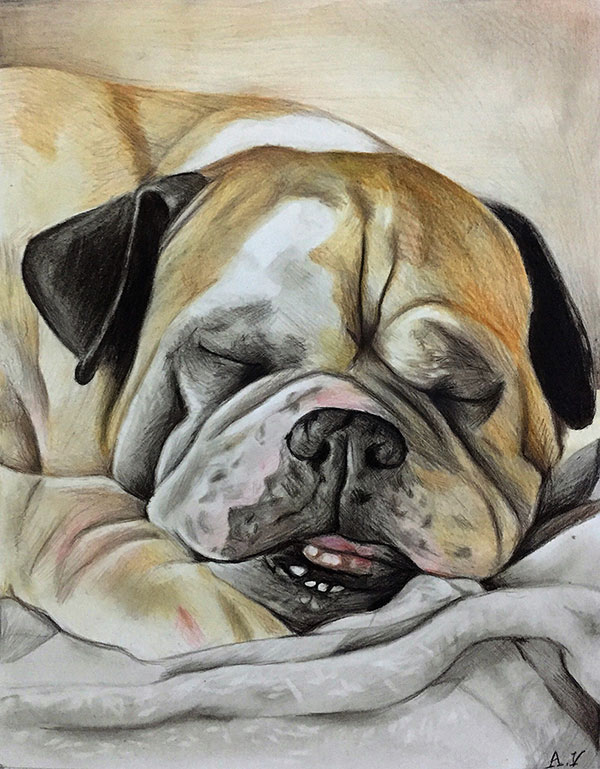 custom colored pencil drawing of sleepy bulldog
