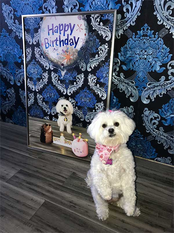an oil painting of little white poodle on her birthday cake