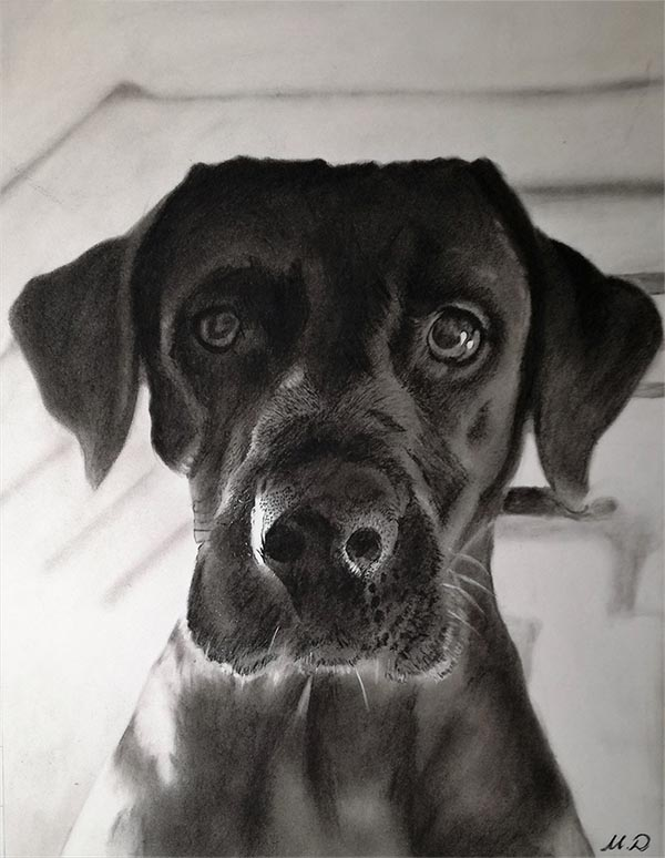 a charcoal drawing of a black labrador