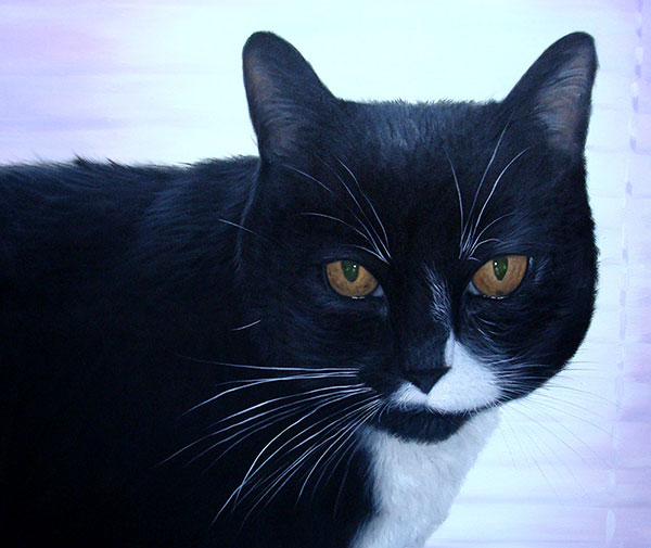 Custom oil handmade painting of tuxedo cat